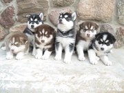 Продаются щенки Сибирской Хаски