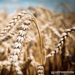 Купим кукурузу фуражную(сырую, сухую),  пшеницу