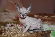 Продам замечательных котят. Донские сфинксы 3 мес.