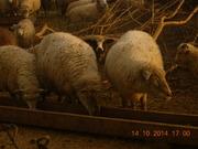 овцы крупных пород