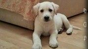 Продам щенка лабрадора (девочка)