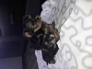 продам очаровательных щенков мини йорков